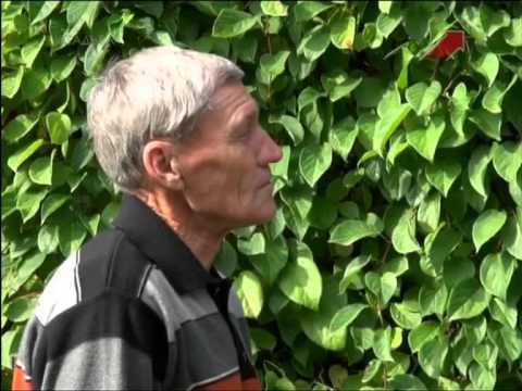 Виноград в Сибири Плодовые культуры