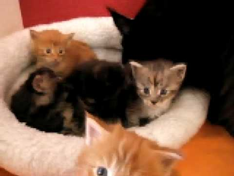 Maine coon kittens 4 weeks old. - YouTube