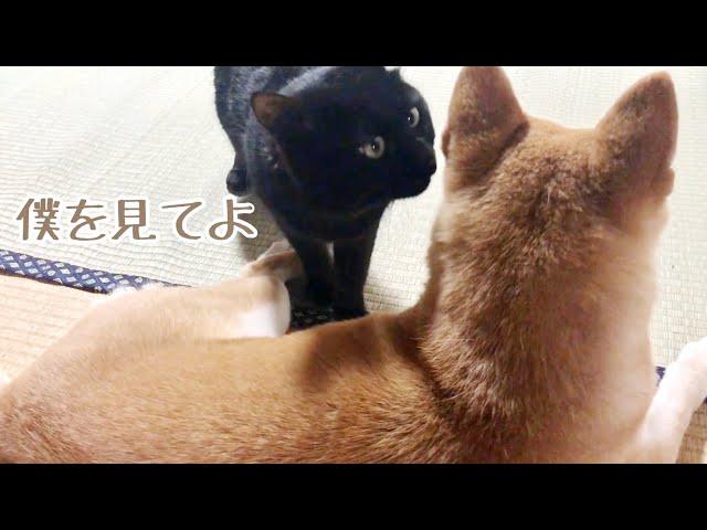 犬が全然構ってくれなくて「もう!」ってなる猫 Cat: look at me!
