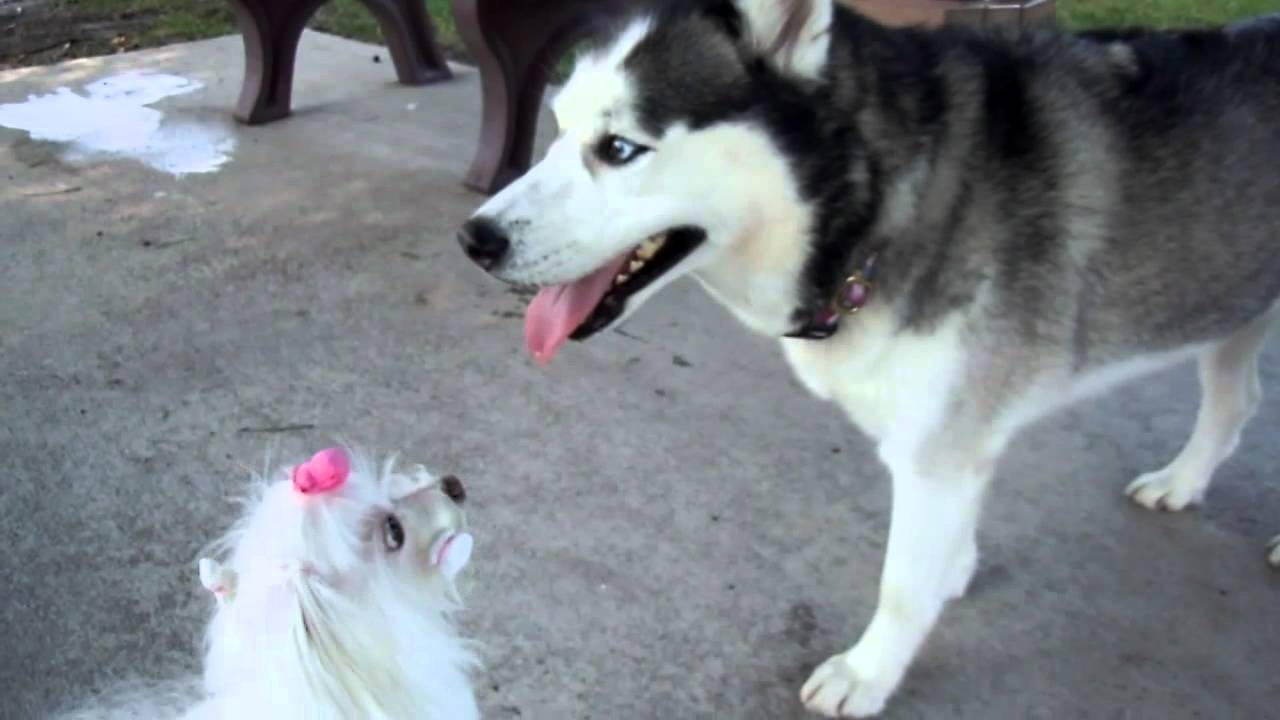 husky maltese maltese and siberian husky youtube 5610