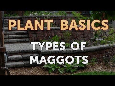 types-of-maggots