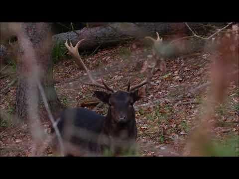 Říjný daněk v lese