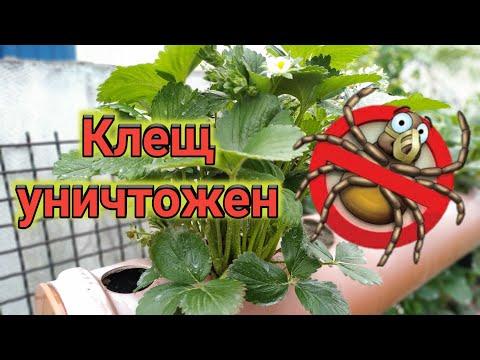 Земляничный КЛЕЩ побеждён!!! ������ Belklubnika.by