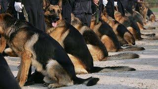 В Эквадоре торжественно проводили на пенсию 16 собак-полицейских (новости)