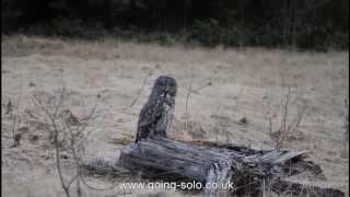 The Great Gray Owl - Banff, Alberta