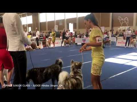 EURO DOG SHOW 2019 | FEMALE JUNIOR AKITA EDS | WELS, AUSTRIA | EDS 2019