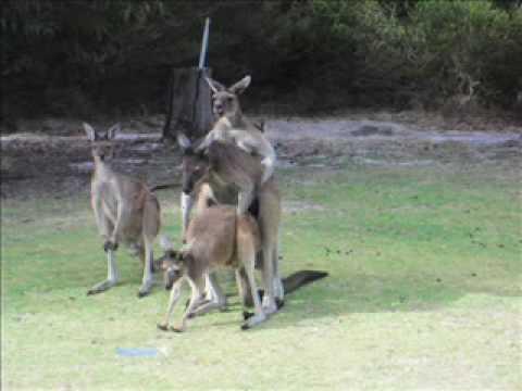 how-do-kangaroos-have-sex