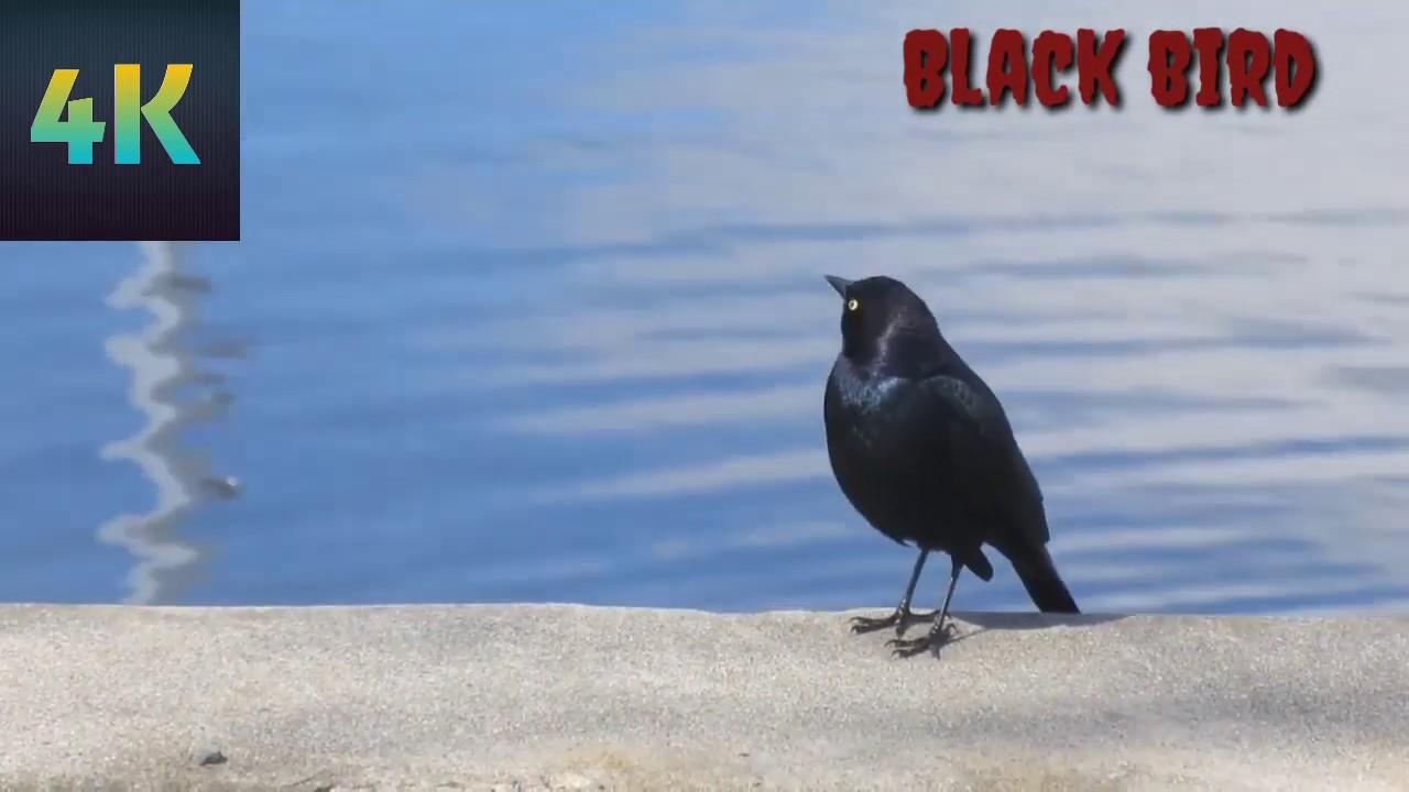 Bird sounds   sounds of Black  Birds