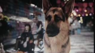 Delgado - German Shepherd Dog In Beverly Hills Chihuahua