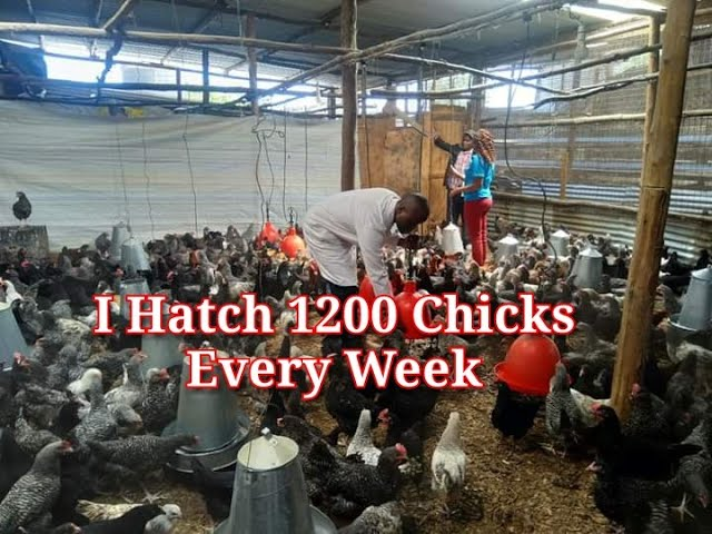 I HATCH 1200 CHICKS EVERY WEEK Success Story of Kienyeji Chicken farmer AND Broiler Farming Tips
