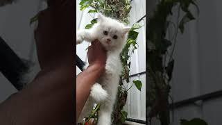 Persian Kitten For Sale. #Persiancat #cat #kitten  #catlovers #catlove