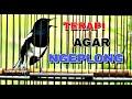 Terapi Kacer Macet Agar Gacor Ngeplong Buktikan  Mp3 - Mp4 Download