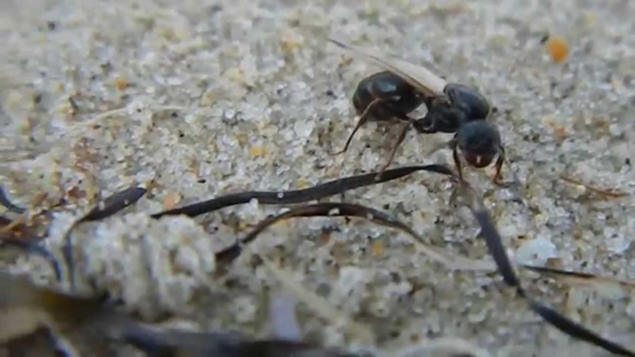 матка муравьёв фото