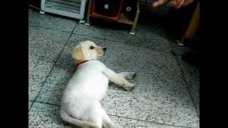 Labrador Puppy Training And Tricks