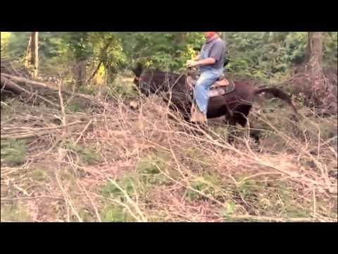 Gaited, Saddle, Trail Mule