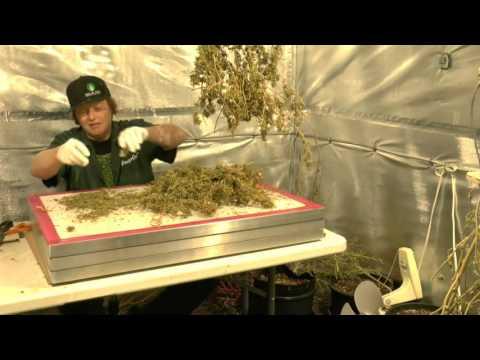 Growing The Jamaican Lambsbread CMH /CFL Lighting Resin Yields