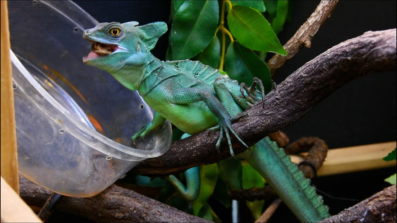 Green Basilisk Lizard Feeding - YouTube