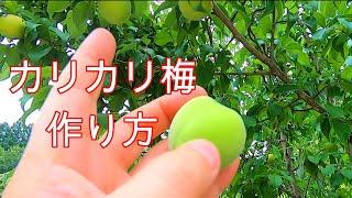 【カリカリ梅】採集~作り方~出来上がり 約半月
