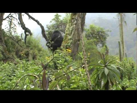 Mountain Gorilla feeding on gallium in high tree