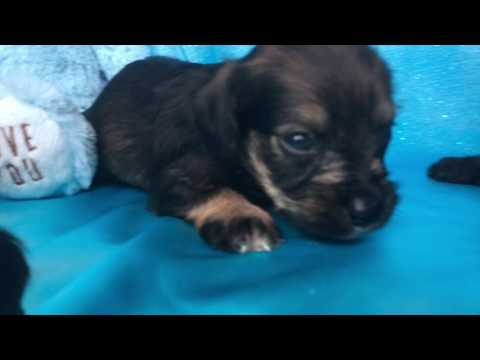 Adorable Cocker Schnoodle Puppies For Sale In NC