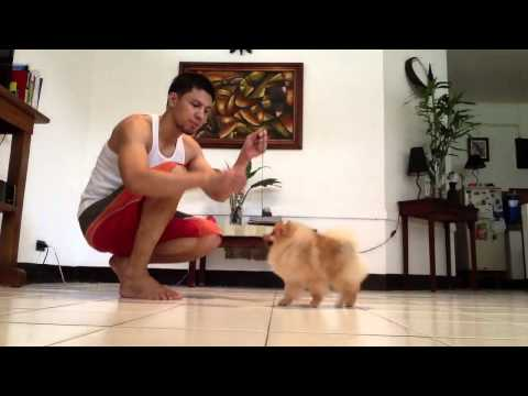 Pomeranian on Show training
