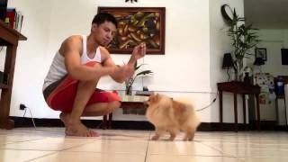 Pomeranian On Training
