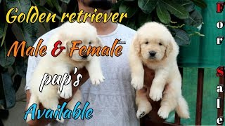 golden retriever puppies available for sale | golden retriever puppy for sale | Scoobers |