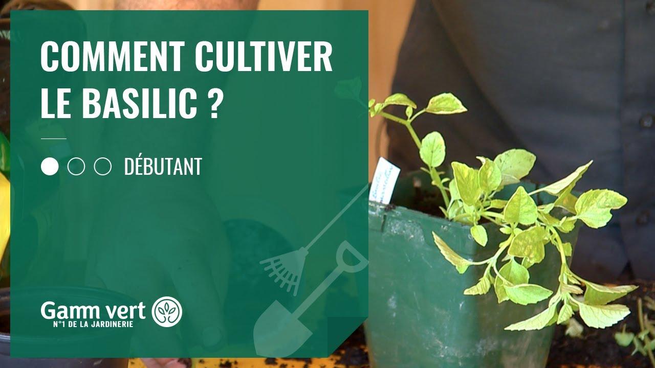 Comment Planter Du Basilic [tuto] comment cultiver le basilic ? - jardinerie gamm vert