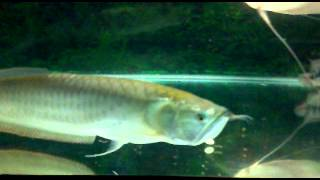 Silver Arowana community fish tank