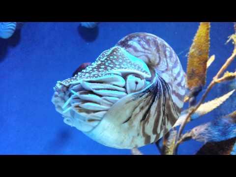 Nautilus : A cephalopod mollusc with a light external spiral shell
