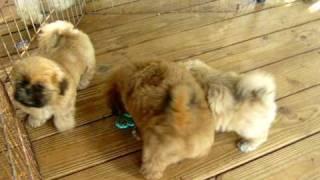 Ga Shih Tzu Puppies Having Fun With The Keys! Shih Tzu For Sale In Atlanta Ga Fl Al Tn Sc Nc