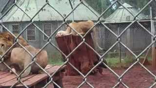Lion eats man