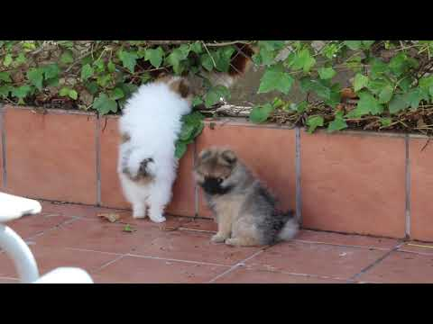 Some pupps of our L litter of German Spitz