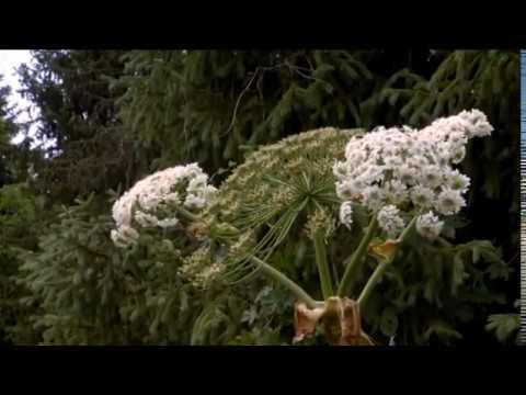Отруйні рослини: борщівник