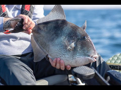 Facts About Grey Triggerfish - Fish Facts