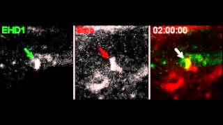 Nature Cell Biology : Early steps in primary cilium assembly require EHD1/EHD3-dependent ciliary...