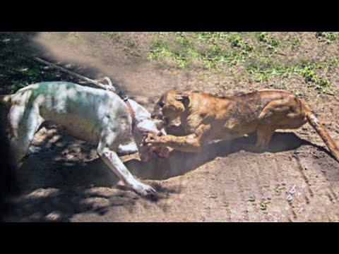 Prefijo victoria idiota  Dogo Argentino VS Mountain Lion Puma Cougar Fight - Trained Dogo Dog Attack  Puma Cougar (Detailed) - YouTube