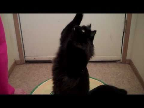Cute FLUFFY Cat Begging for Food Like a Dog