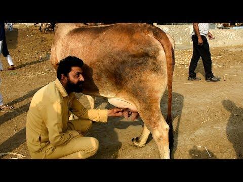 Dabwali Mandi Heavy Milker desi cow giving 20 kg milk per day thumbnail