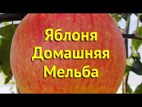 Яблоня домашняя. Краткий обзор, описание характеристик, где купить саженцы malus domestica Мельба