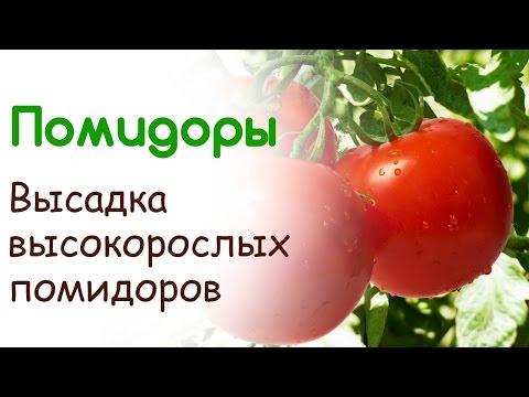 Высадка высокорослых помидоров в открытый грунт. Уход за помидорами в открытом грунте