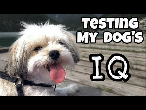 Testing My Dog's Intelligence - Lhasa Apso