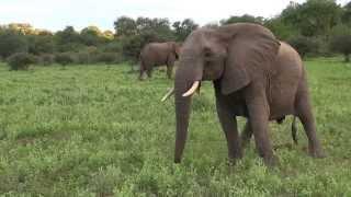 Large Breeding Herd Of Elephants