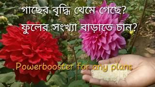 Use Rice Water as  natural fertilizer.( চাল ধোয়া পানি গাছের উৎকৃষ্ট সার )