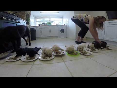 Thumbnail: Labrador Puppies weaning for the first time