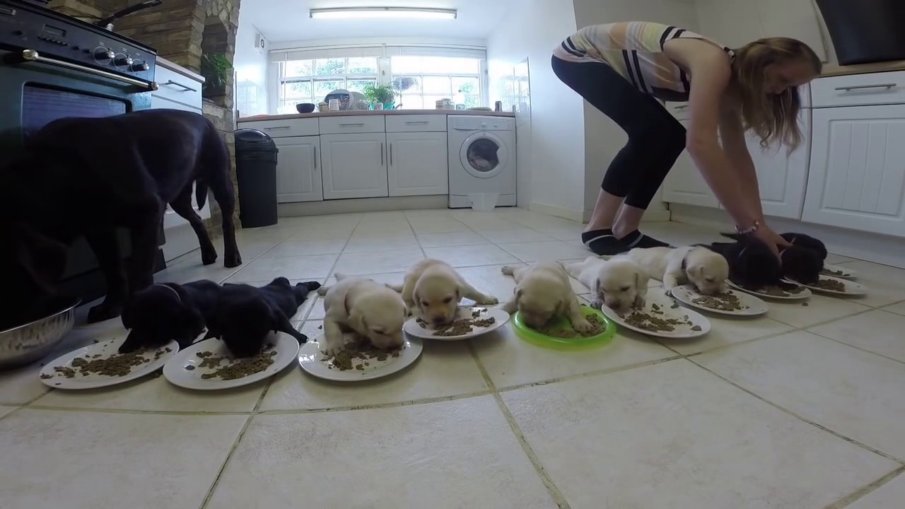 Labrador Puppies Weaning For The First Time Youtube