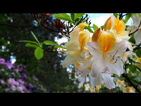 Рододендроны: выбор сорта