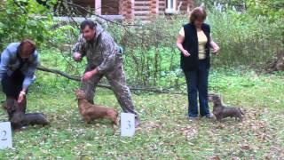 Рабочие собаки- почетные участники выставки))