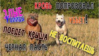 Топ мифов о питбулях и стаффах | бойцовые собаки