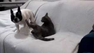 French bulldog and cat playing together.